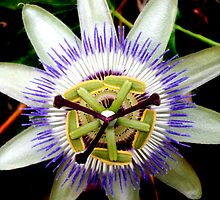Passion Flower by Melanie Froud