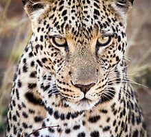 African Leopard Photograph Namibia by wasootch
