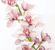 Cymbidium Orchid Flower Pink Green by wasootch
