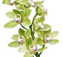 green Cymbidium orchid flower floral by wasootch