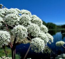 Wild Angelica by Kathleen Daley