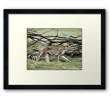 unique moving cheetah photograph Framed Print