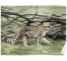 unique moving cheetah photograph Poster