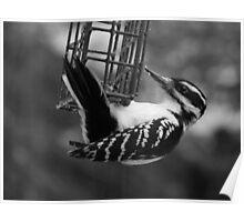 Woodpecker in Black & White Poster