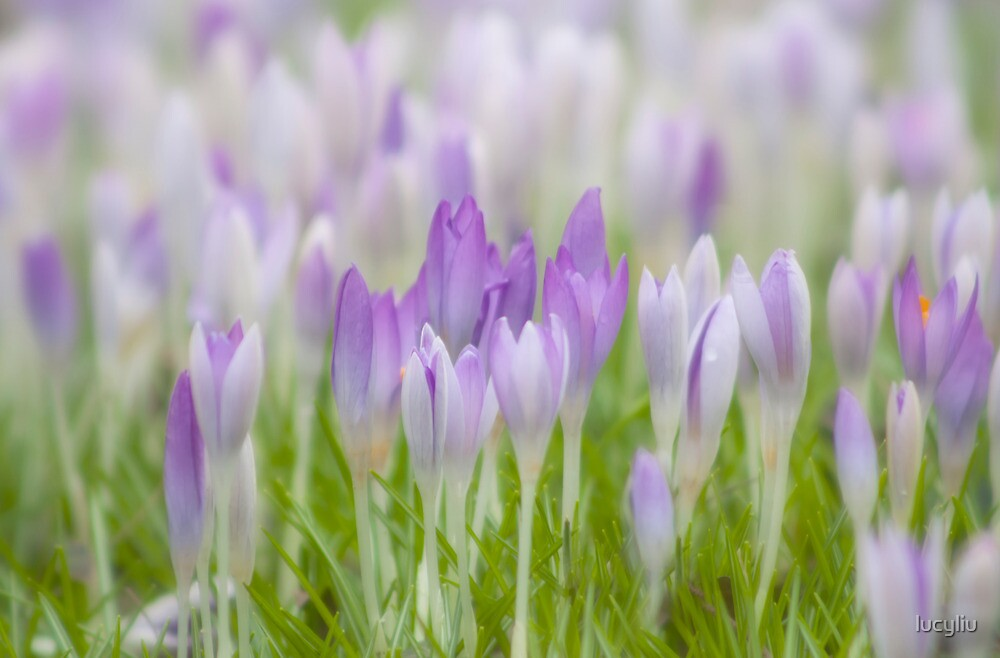 crocus by lucyliu