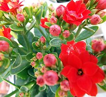 "Kalanchoe Blossfeldiana ""Red"" Flower Plant by artkrannie"