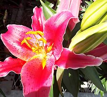 "Oriental Lily ""After Eight"" Flower Plant 1 by artkrannie"