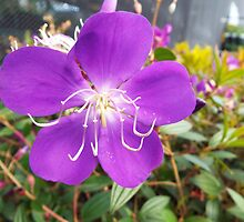 "Tibouchina Urvilleana ""Glory Bush"" Purple Flower Plant by artkrannie"