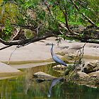 White Faced Heron by Penny Smith