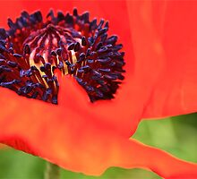 Red Poppy by Linda Bianic