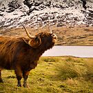 Highland Cow 2 by Don Alexander Lumsden (Echo7)