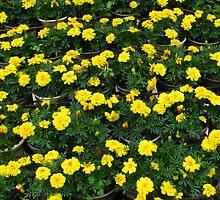 beautiful flower in Viet Nam 10 by sadspring2001