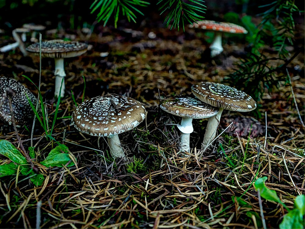 All Of One Mind ~ Amanita pantherina ~ by Charles & Patricia   Harkins ~ Picture Oregon