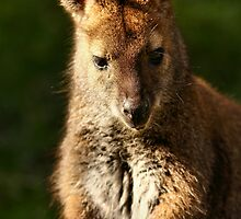 Wallaby by Mark Cooper