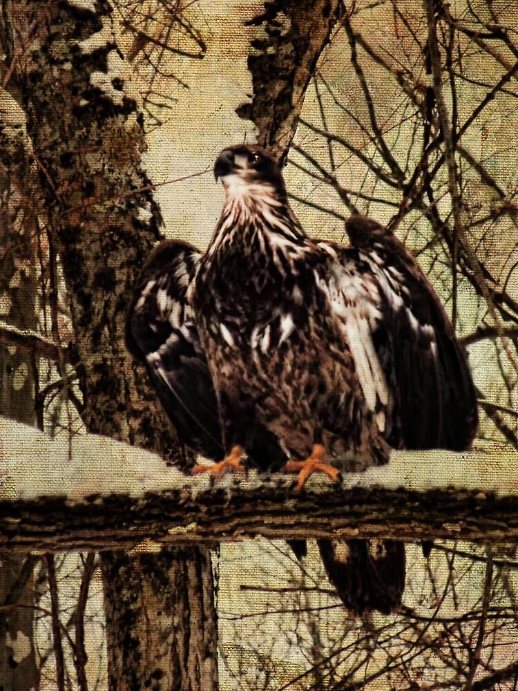 Juvenile Eagle by PineSinger