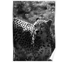 Speed of a Cheetah Poster