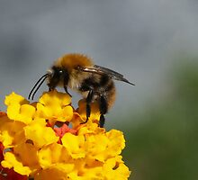 Bumble Bee by Mark Bangert