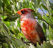 Southwestern Cardinal in Tucson by Robert Kelch, M.D.