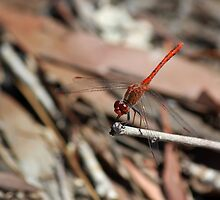 Red Dragonfly by JLOPhotography