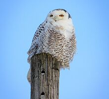 Snowy Owl by Mikell Herrick