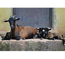 Dwarf Goat with Kids Photographic Print