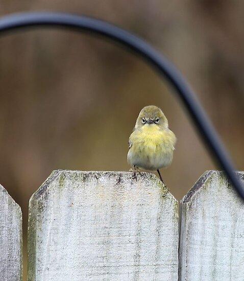 Disgruntled Warbler by SuddenJim
