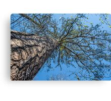 Looking up a tree Canvas Print