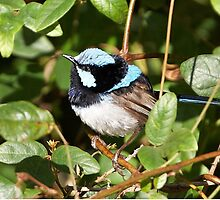 Superb Fairy-wren by Robert Elliott