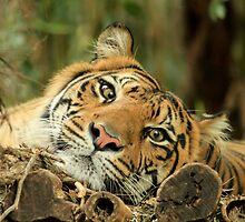 Timid Tiger... by Chris Kean