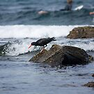 Sooty Oystercatcher On The Hunt by reflector