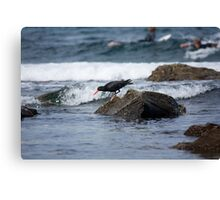 Sooty Oystercatcher On The Hunt Canvas Print