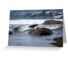 Sooty Oystercatcher On The Hunt Greeting Card
