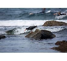 Sooty Oystercatcher On The Hunt Photographic Print