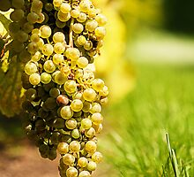 grapes by Manon Boily