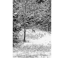 Peering Out - Deer BW Photographic Print