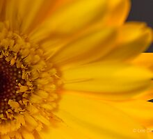 Yeloow Gerbera by Rarit-T