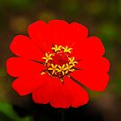 Red Zinnia  by Mary Carol Story
