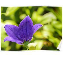 Purple Balloon Flower Poster