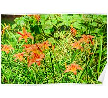 Daylilies - Tiger Lilies Poster