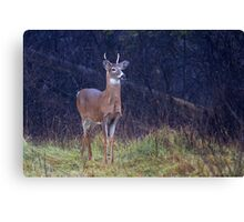 Young Royalty - White-tailed deer Canvas Print