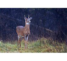 Young Royalty - White-tailed deer Photographic Print