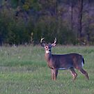 September Deer - White-tailed deer by Jim Cumming