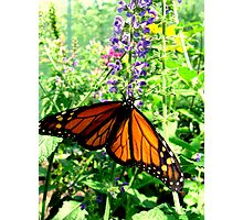 Monarch 2 Photographic Print
