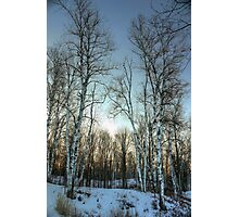 Birch Photographic Print