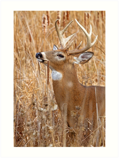 Love is in the air - White-tailed deer by Jim Cumming