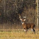 Grace and Poise - White-tailed deer by Jim Cumming