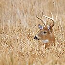 In the marsh - White-tailed deer by Jim Cumming