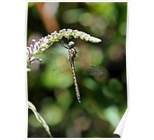 Beautiful Dragonfly Poster