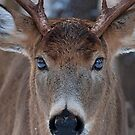 Mirrored - White-tailed deer by Jim Cumming