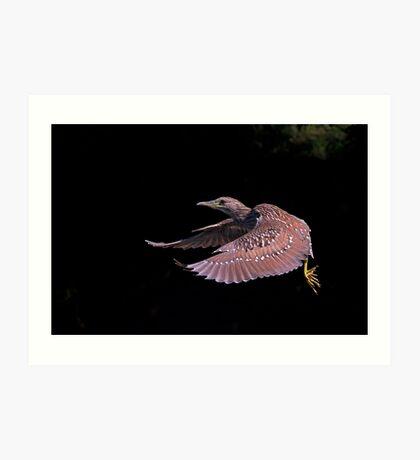 Juvenile Black-crowned Night Heron Art Print